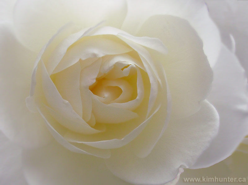 beautiful white rose flowers. White Rose Photograph