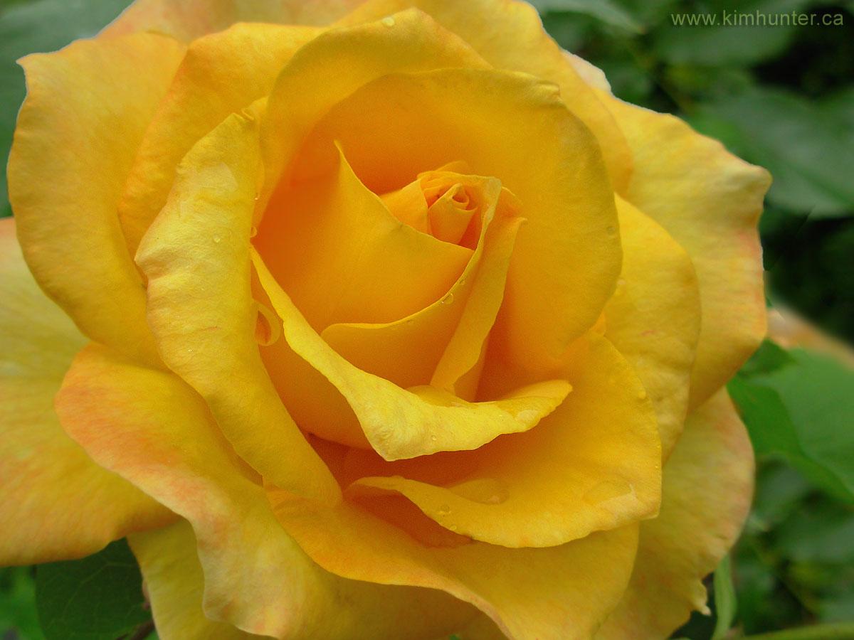 ROSES PHOTOGRAPHS FREE ROSE DESKTOP IMAGES BEAUTIFUL RED