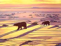 wildlife painting polar bears sunset oil painting, arctic landscape painting, wildlife Original polarbear w cub casting long shadows on the ice flows at dusk, oil painting on bristle board painting by contemporary Canadian Artist Kim Hunter / INDIGO